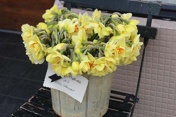 daffodils large